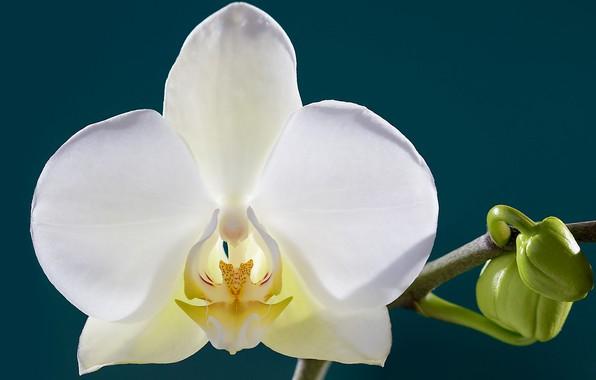 Картинка цветок, лепестки, орхидея