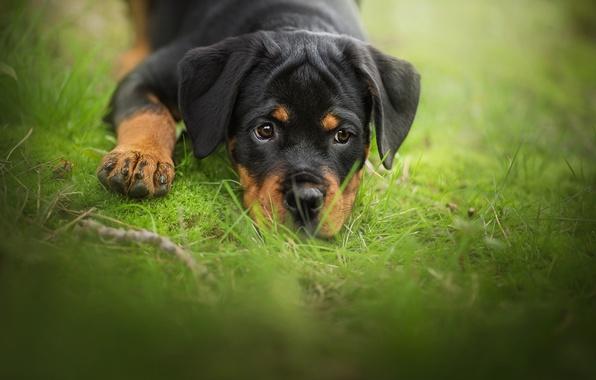 Картинка трава, взгляд, собака, щенок, мордашка, боке, ротвейлер