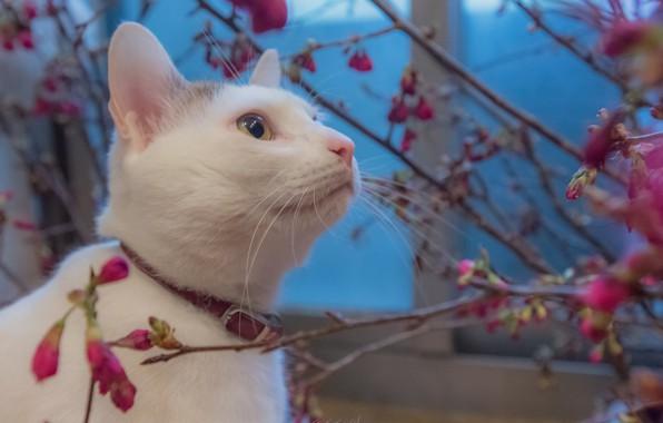 Картинка Blue, Flowers, White, Cat, Animal
