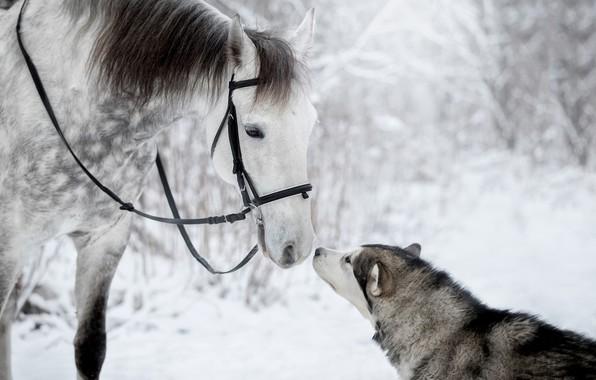Картинка зима, лошадь, чувства, собака, друзья, хаски