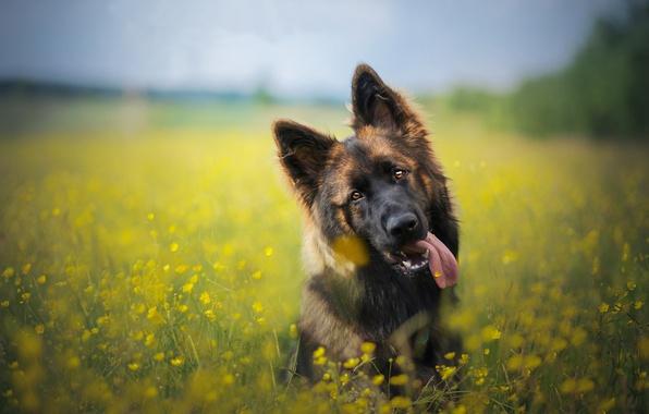 Картинка язык, морда, цветы, собака, луг, боке, Немецкая овчарка
