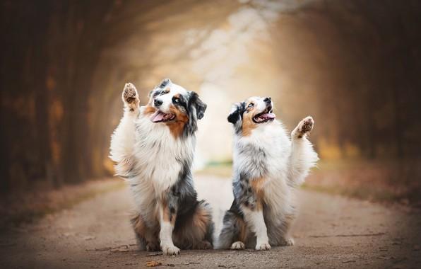 Картинка радость, парочка, боке, две собаки, Австралийская овчарка, Аусси