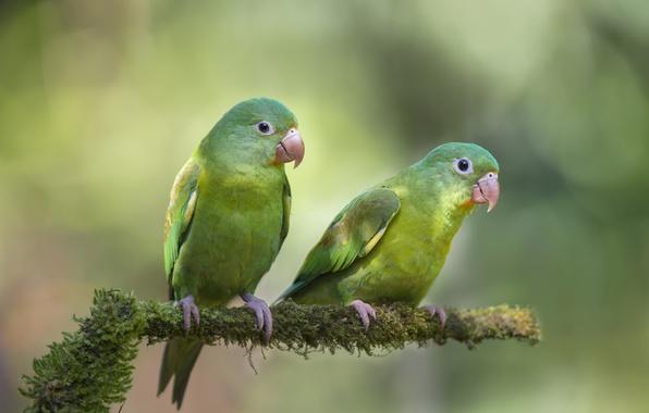 Картинка птицы, фон, ветка, попугаи, двое, боке