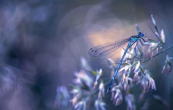 Картинка макро, природа, стрекоза, насекомое, травинка, боке