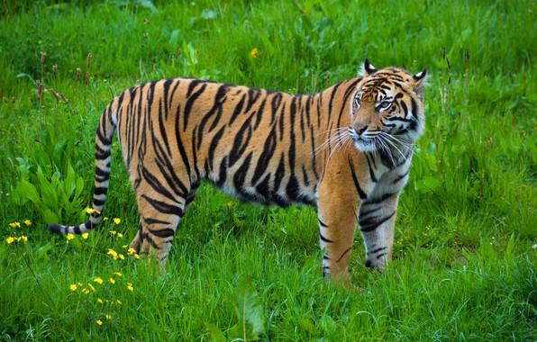 Картинка полоски, тигр, хищник, грация, окрас, дикая кошка