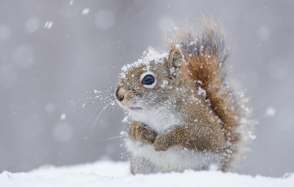 Картинка зима, снег, белка