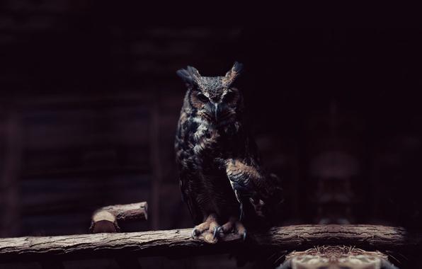 Картинка взгляд, сова, птица, ветка, когти, темное