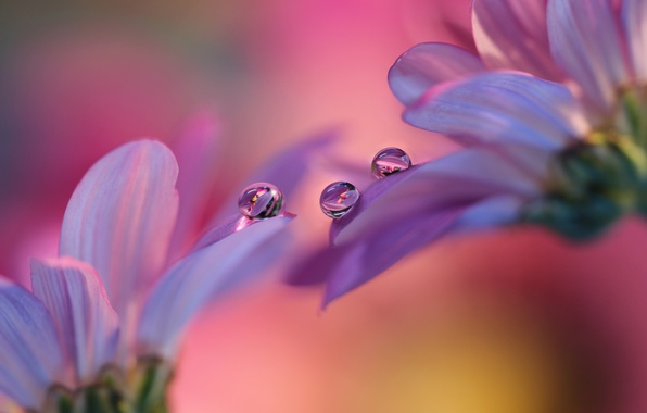 Картинка капли, цветы, лепестки, герберы