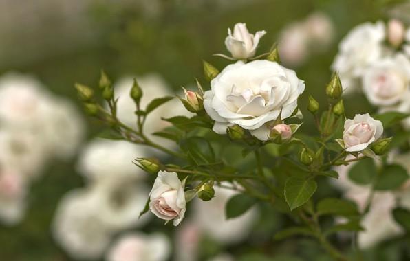 Картинка цветы, куст, розы, бутоны роз