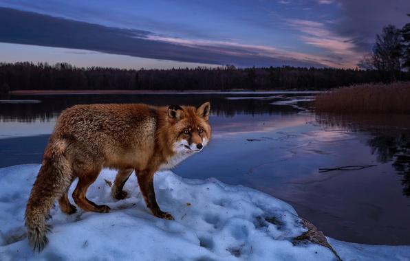 Картинка зима, лес, снег, деревья, пейзаж, природа, река, берег, вечер, лиса, рыжая, лисица