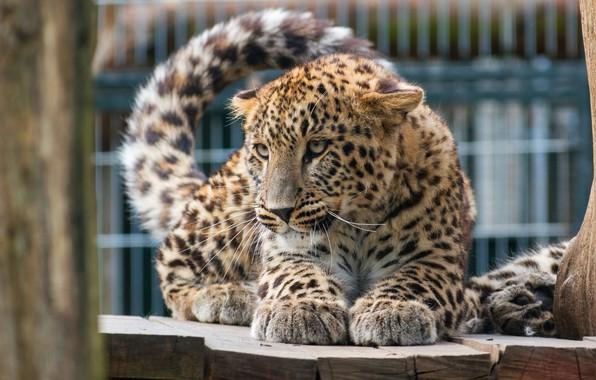 Картинка кошка, глаза, взгляд, поза, котенок, дерево, забор, лапки, малыш, леопард, хвост, котёнок, детеныш, зоопарк, дикая, …