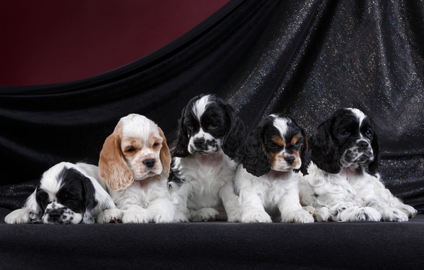 Картинка щенки, порода, спаниель, квинтет