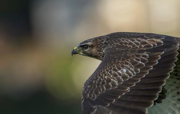 Картинка фон, птица, крылья, хищник, перья, полёт, Ястреб, боке, Канюк