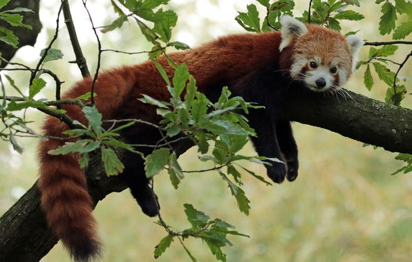 Картинка мордочка, Красная панда, Малая панда