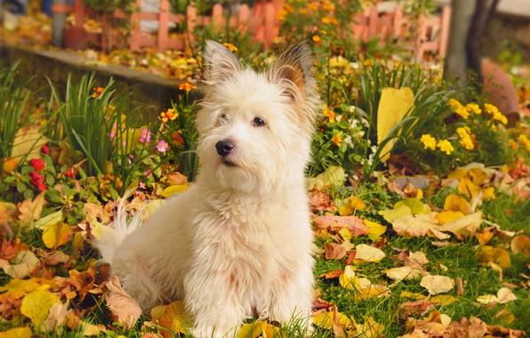 Картинка Природа, Осень, Собачка, Nature, Dog, Fall, Листва, Autumn, Leaves, Вест-хайленд-уайт-терьер