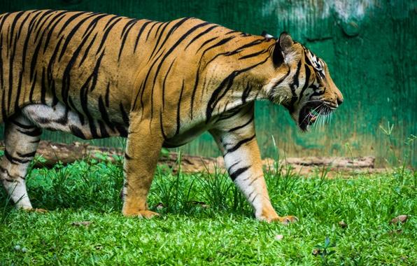 Картинка green, black, nature, tiger, stripes, animal, zoo, mammal, malaysia, malacca
