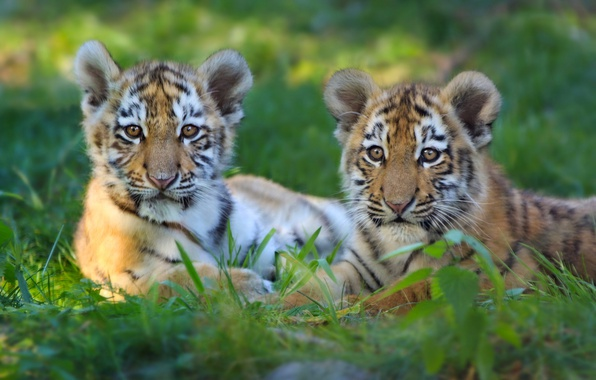 Картинка котята, парочка, тигры, тигрята