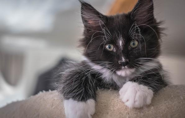 Картинка взгляд, котенок, портрет, котёнок, Мейн-кун