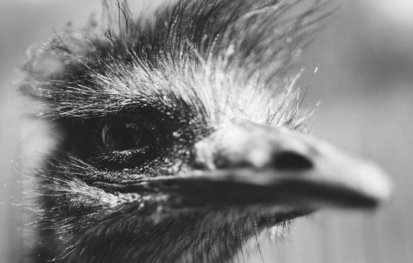Картинка глаз, птица, голова, клюв, черно-белое, страус