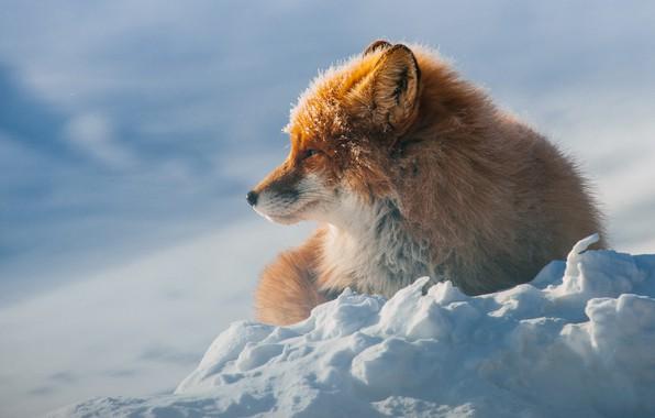 Картинка зима, снег, лиса, лежит, рыжая, дикая природа