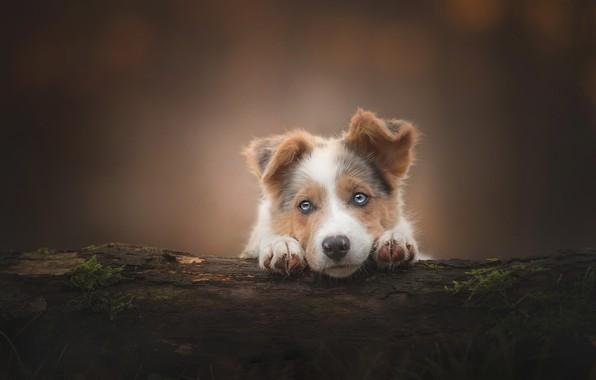 Картинка взгляд, фон, собака, щенок, бревно, мордашка, Австралийская овчарка, Аусси