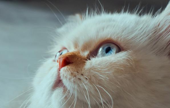 Картинка кошка, взгляд, мордочка, голубые глаза, Гималайская кошка