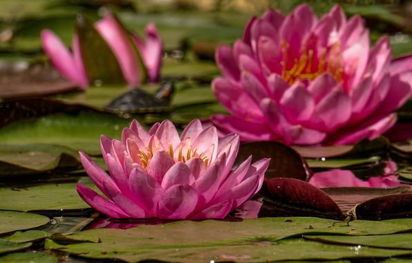 Картинка листья, цветы, розовые, цветение, кувшинки, водяная лилия