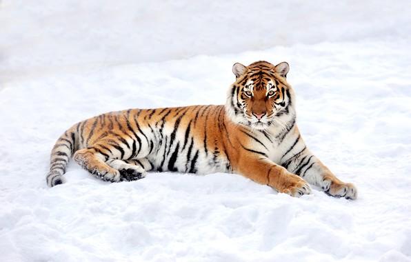Картинка зима, снег, природа, тигр, хищник, лежит, отдыхает