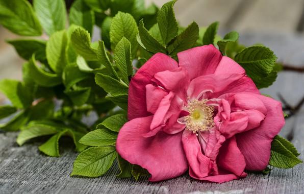 Картинка листья, цветы, фон, розовая, доски, роза, лепестки, тычинки