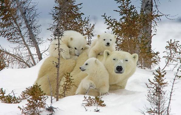 Картинка зима, снег, Канада, медвежата, белый медведь, медведица, Национальный парк, Вапуск