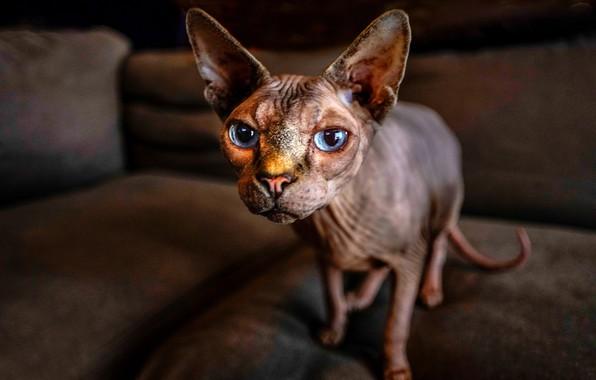 Картинка кошка, кот, взгляд, морда, уши, голубые глаза, сфинкс