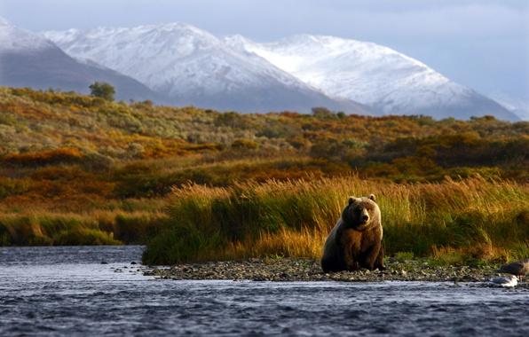 Картинка лето, горы, природа, река, размытость, медведь, охота, bear, animals, nature, brown, боке, бурый, travel, wallpaper., …