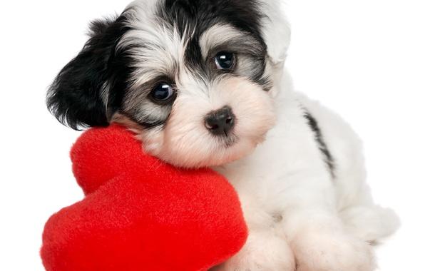 Картинка сердце, щенок, puppy, heart, Valentines Day