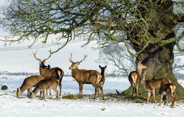 Картинка снег, дерево, олень, семья, рога, стадо