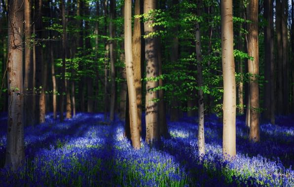 Картинка лес, свет, деревья, цветы, весна, тени, Бельгия, колокольчики, колокольчик, света, редколесье