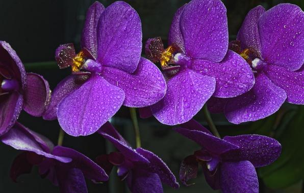Картинка капли, ветка, орхидея