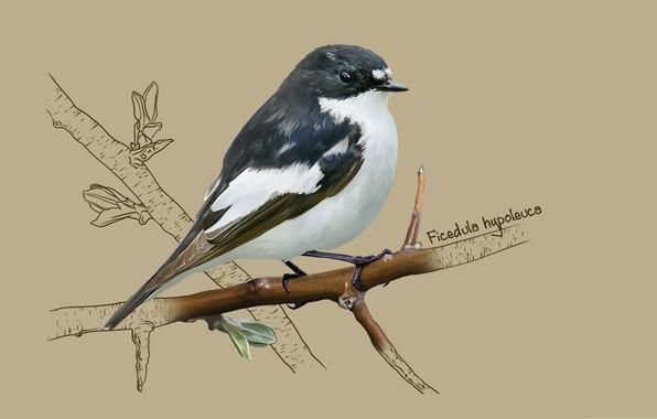 Картинка арт, птичка, Мухоловка-пеструшка, European pied flycatcher, kate kondrukhova