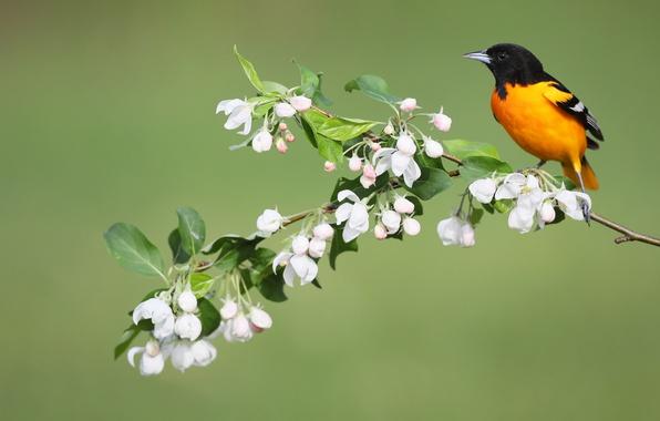 Картинка цветы, птица, весна, Балтиморский цветной трупиал, Балтиморская иволга