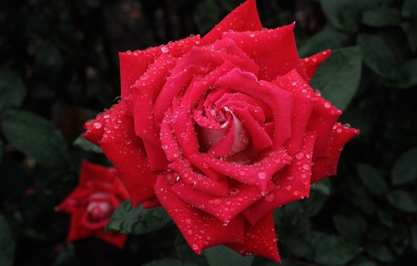 Картинка капли, макро, роза, лепестки, бутон, алая роза