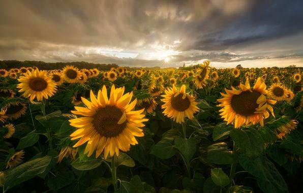 Картинка поле, лето, солнце, облака, свет, подсолнухи