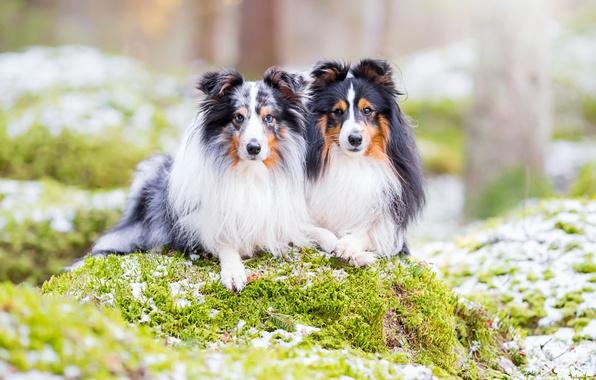 Картинка собаки, природа, парочка, шелти, шетландская овчарка