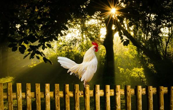 Картинка лето, природа, птица, утро, восход солнца, петух