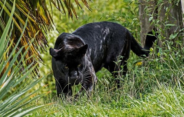 Картинка хищник, пантера, дикая кошка, смотрит, чёрный ягуар