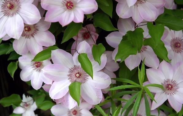 Фото обои клематисы, листва, лепестки, свежесть, тычинки, нежность, цветы