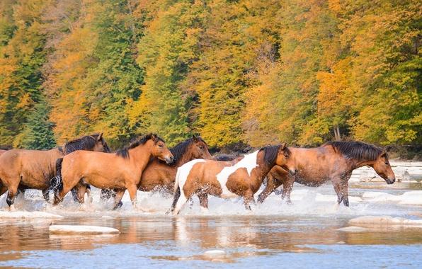 Картинка осень, река, кони, лошади, табун