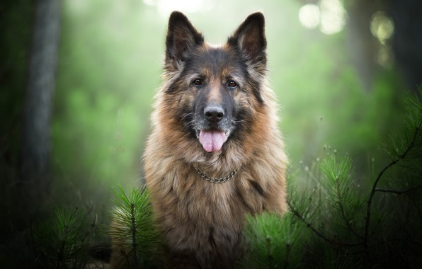 Картинка взгляд, морда, ветки, портрет, собака, боке, Немецкая овчарка