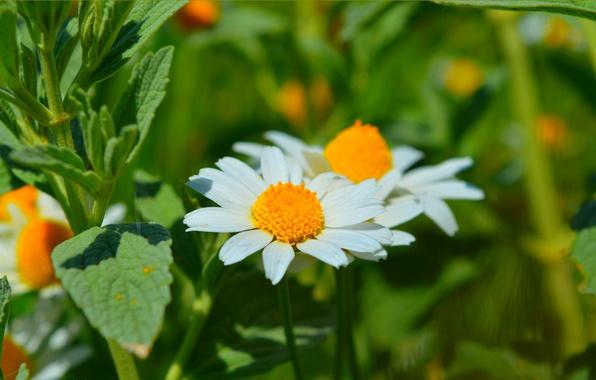 Картинка Природа, Весна, Ромашка, Nature, Spring
