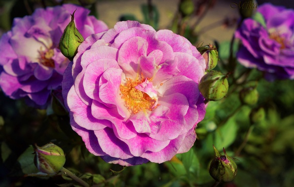Картинка Макро, Роза, Rose, Macro, Розовая роза, Pink rose