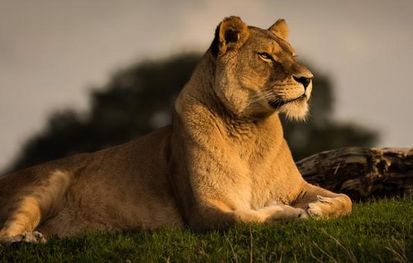 Картинка трава, взгляд, морда, кошки, поза, фон, портрет, лев, лапы, красавица, лежит, дикие кошки, львица, гордая, …