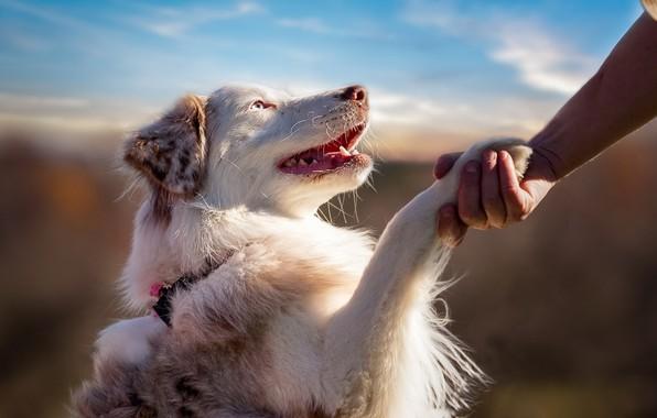 Картинка dog, blue eyes, animal, friendship, hand, feeling, fur, ears, paw, mouth, open mouth, muzzle, teeth, …